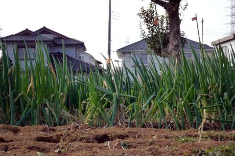 6.葱畑.jpg